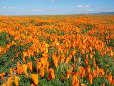The Antelope Valley California Poppy Reserve is expecting 2017's bloom season to be one of the best in years.