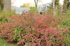 Little Henry itea has the most fabulous fall color (and this is in addition to its delightfully fragrant summer flowers!). Why should trees get to have all the fun?! http://emfl.us/glGd