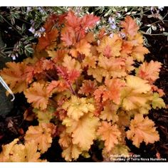 Shop Heuchera Marmalade at J Parker's. Hardy evergreen perennial sometimes called Alumroot or Coral Bells. Buy online in the UK. Shade Garden Plants, Buy Plants, Back Gardens, Outdoor Gardens, Coral Bells Heuchera, Best Perennials, Flowers Perennials, White Flower Farm, Balcony Flowers