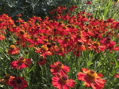 """Hellenium """"Moerheim Beauty"""". Plant in groups of three for maximum impact. The blooms are red, fading to orange. Deadhead to encourage a second flush."""