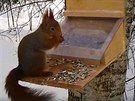 Tady už si veverka, která právě zjistila, jak se dostat k obsahu krmítka,...