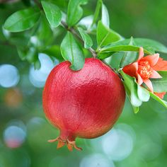 Pomegranate seeds mini pomegranate tree seeds very sweet Delicious fruit seeds Fruit And Veg, Fruits And Vegetables, Fresh Fruit, Vegetables List, Eating Vegetables, Dwarf Fruit Trees, Growing Fruit Trees, Growing Veggies, Fruit Plants