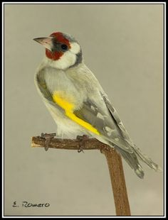 European goldfinch (Opal mutation)