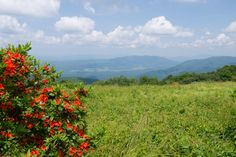 Beautiful Azaleas blooming on Gregory Bald Trail in The Smoky Mountains