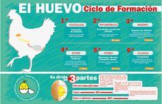 #infografia #huevo ciclo de formación by mododestudio, via Flickr