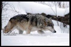 Gray Wolf--Paul Danaher Photo