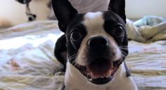 Watch this Funny Boston Terrier Acting Crazy in her Owner's Bed just to Entertain!  ► http://www.bterrier.com/?p=28020 - https://www.facebook.com/bterrierdogs
