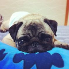 Baby pug - so adorable!