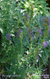 Hissopo - Hissopus officinalis