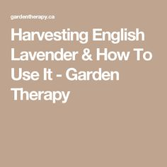 Harvesting English Lavender & How To Use It - Garden Therapy