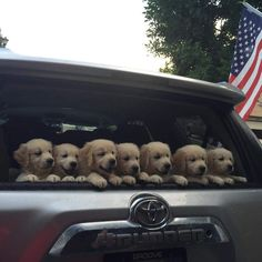 Seven precious Golden Retriever #puppies! www.bullymake.com