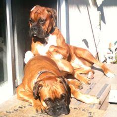 Looks just like my girls! Sunbathing  boxers