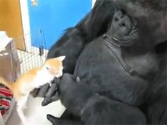 gorilla inspects cat