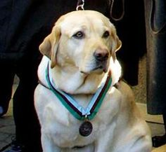Roselle, the 9/11 Hero and Guide Dog, who led her blind owner and others down 78 flights of stairs in Tower One of the World Trade Center moments before it collapsed. --- Roselle passed away at 13 years of age.