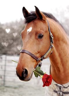 Be My Valentine! Horse, hest, Valentine, red, rose, brown, fence, beautiful, gorgeous, animal, photo.