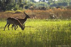 Red Lechwe in the Okavango Delta from Xugana Island Lodge Okavango Delta, Panther, Safari, Island, Red, Photos, Animals, Pictures, Animales