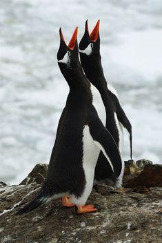 magicalnaturetour: Love Song by Igor Gvozdovskyy Love Birds, Beautiful Birds, Macaroni Penguin, Penguins And Polar Bears, Penguin Love, Flightless Bird, Animal Antics, Marine Life, Animal Kingdom