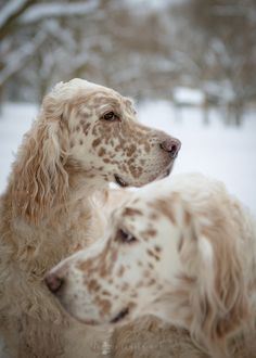 jacquijr:   English Setters, Chorley Park Webster... - WASPing Through the Countryside