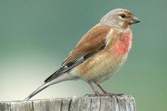 Nederlandse gevogelte: Kneu