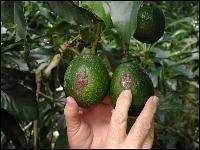 Avocado Growing in t