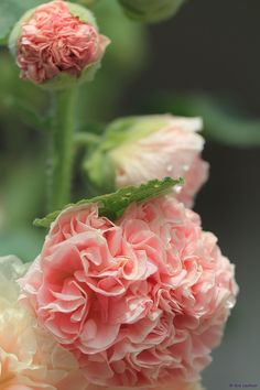 For my flower obsession: Hollyhock Alcea rosea Amazing Flowers, My Flower, Pink Flowers, Beautiful Flowers, Pink Peonies, Pink Carnations, Purple Roses, Deco Floral, Hollyhock