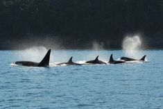 After Menopause, Killer Whale Moms Become Pod Leaders | Science | Smithsonian