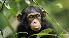 Oscar from the Disney movie Chimpanzee