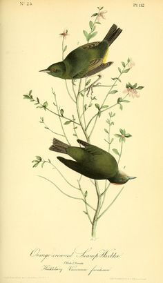 v 2 - The birds of America by John J Audubon : - Biodiversity Heritage Library  -  Orange-Crowned Swamp Warbler & Huckleberry