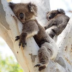 Hugging trees to cool off