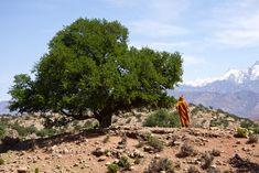 Argan tree from the forest near from agadir city. شجرة الاركان من الغابة القريبة من مدينة اكادير. #argan #arganoil #cosmetics #makeup
