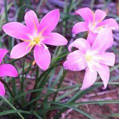Si riega profundamente cada 2 semanas, pero luego deja que la tierra casi se seque, obtendrá flores al cabo de un par de días y puede seguir repitiendo este esquema durante todo el final del verano y el otoño.