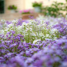 Alysum.....beautiful for edging. such a beautiful flower