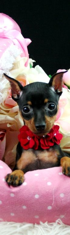 Miniature Pinscher Puppies Mini Pin dogs for sale, Dogs for sale