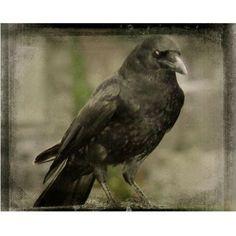 Vintage Crow Art Gothic Raven Eye Of Crow Aged Hues by gothicrow Edgar Allen Poe, Edgar Allan, Crow Art, Crows Ravens, Dark Pictures, Rabe, Macabre, Pet Birds, Gothic