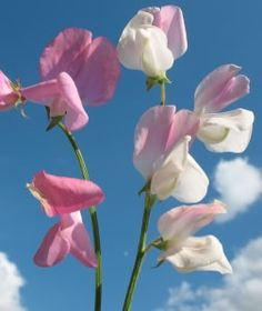 About Sweetpeas,& How To Grow Sweet Peas-by North American Farmer