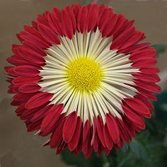 Designs For Garden Flower Beds 'Firewheel' Chrysanthemum Unusual Flowers, Amazing Flowers, Beautiful Flowers, Blossom Garden, Different Plants, Growing Plants, Flower Beds, Trees To Plant, Garden Plants