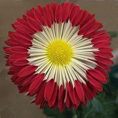 'Firewheel' chrysanthemum