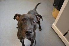 Onyx - located at ISLIP ANIMAL SHELTER AND ADOPT-A-PET CENTER in Bay Shore, NY - Adult Female Pit Bull Terrier - She is a happy and friendly girl. She needs a home without cats.
