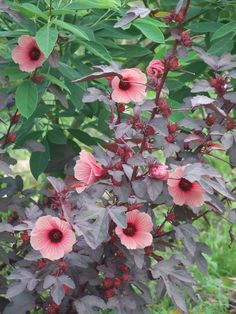 Cranberry hibiscus, another gorgeous, nutritious edible Hibiscus, foliage reddish, vitamin C, B-2 and B-3, antioxidants, iron, calcium, lowers blood pressure, and more.
