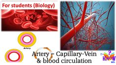 Biology - Artery Capillary Vein & Blood Circulation (simple explanation)