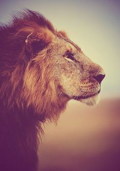 Lion, these eyes have seen & lived a hard life