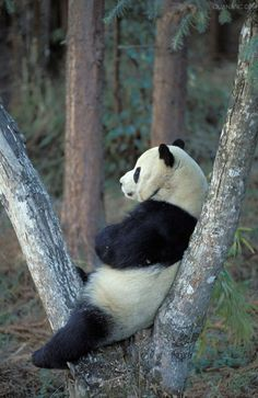 Wow, what do you think he has in mind? Cute panda in a mood. Funny panda picture