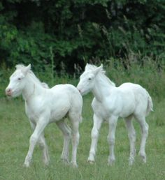 Two White Gypsy Vanner Foals.