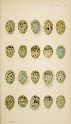 bird eggs, a beautiful 1864 illustration - *free* vintage ephemera #art #illustration #free