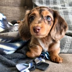 Awesome pretty dogs info are available on our site. Read more and you wont be sorry you did. Cute Baby Dogs, Super Cute Puppies, Baby Animals Super Cute, Cute Dogs And Puppies, Cute Funny Animals, Hot Dogs, Dapple Dachshund Puppy, Doxie Puppies, Weenie Dogs