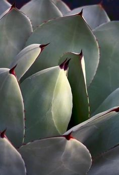 Agave Parry I, 2014 photography by Virginia Saunders Cacti And Succulents, Planting Succulents, Planting Flowers, Floral Photography, Nature Photography, Trees To Plant, Plant Leaves, Agave Plant, Cactus Art
