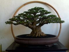 Japanese Black Pine - What a majestic tree presented in a beautiful pot which enhances rather than distracts.