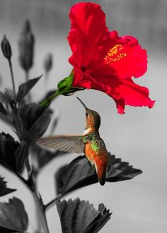 'El colibrí no tiene la capacidad de oler, parecen ser atraídos por los colores de las plantas y las flores, el rojo es el color dominante al que se sie... - Samantha Renne - Google+