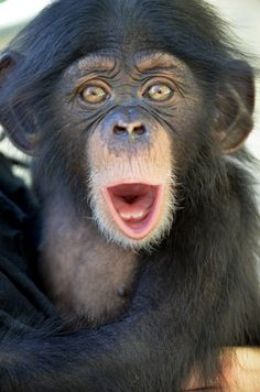 Orphaned Chimpanzee Ruben finds a new home and surrogate mother at the Oklahoma City Zoo!