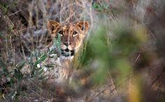 Lions, symbol of pride, vanishing in West Africa